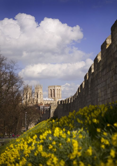 York's city walls with daffodils in bloom